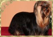 Hübsche Yorkshire Terrier Welpen