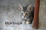 Burbuja - Katzenbaby sucht Zuhause