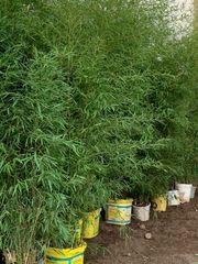 Bambus ungefähr 3 m Höhe