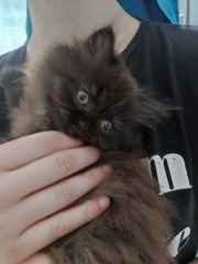 Reinrassiger Perserkater Kitten m mit
