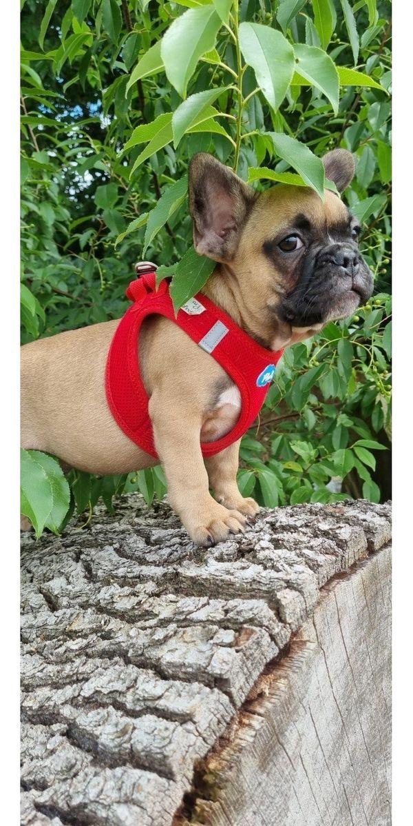 French Bulldog Welpe hat sein Köfferchen gepackt