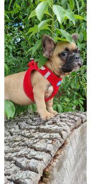 French Bulldog Welpe hat sein