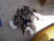Frettchenwelpen