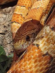 Kornnatter Weibchen