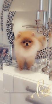 Pomeranian Rüde Teddy - Qualität FCI