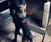 großer Schäferhundmix