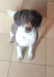 Spanischer Wasserhund Perro de Agua