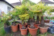 15 Hanfpalmen Trachycarpus fortunei