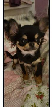 reinrassiger Chihuahua rüde mit stammbaum
