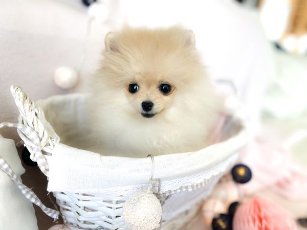 Spitz Pomeranian Mini Mädchen nur