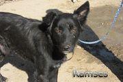 Belgischer Schäferhund-Mischling Ramses - Auf Pflegestelle