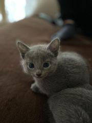 russische blaue Kitten