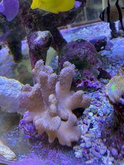 Lobophytum Fingerlederkoralle