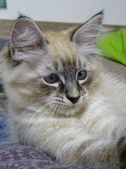 Traumhafte Ragdoll - Kitten herzige Kuschelmonster