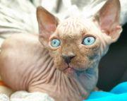 Canadian Spynx Kitten