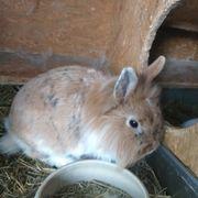Zwergkaninchen Löwenkopfkaninchen Kaninchen rotbraun mit