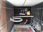 Harlekin kanarienvogel zu verkaufen