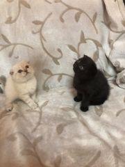 2 Scottish Fold Kitten suchen