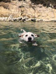 Riso toller Schwimmer sucht aktive