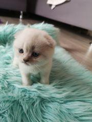 BKH Scottisch Fould Kätzchen Katzenbabys