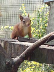Eichhörnchenbock
