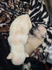 Chihuahuas suchen Verantwortungsvolle Menschen