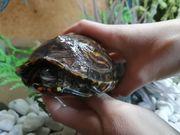 Schildkröte Prachterdschildkröte