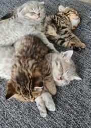 5 Katzenbabys ab Ende Juli