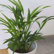 Goldfruchtpalme Zimmerpalme Lieblingspflanze