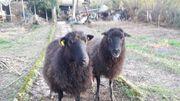 Schafe 2 X Weibchen