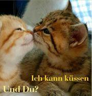 Kitten Katze Katzenbaby Reinrassig