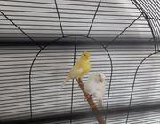 Kanarienvögel Nordhollände