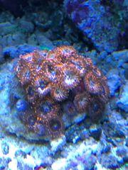 Zoanthus Utter Chaos Korallen Meerwasser