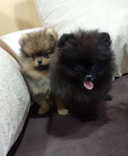 Pomeranian Teddybären