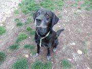 JAKOB - ein sozialer Labrador Mix