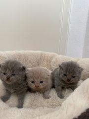 reinrassige BLH BKH Kitten
