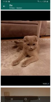 bkh scottish fold mix kater