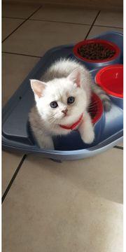 BKH Kitten geimpft und entwurmt