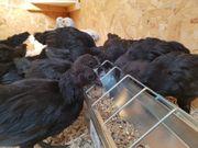 Ayam Cimani Hahn zu verkaufen
