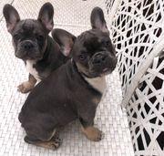 Französische Bulldoggen Welpen Buben