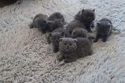 BKH - Scotische Fold Kitten
