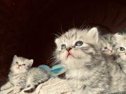 Britisch Kurzhaar Kitten