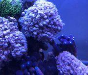 xenien Ableger Korallen Meerwasser Korallenableger