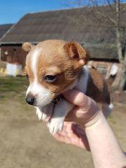 Verkaufe Chihuahua-Wepe Rüde