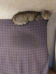Getigerte Katze 5 Monate in