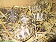 Griechische Landschildkröten THH und THB