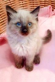 Siam - Ragdoll Kitten