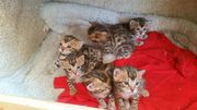 Bengal Kitten vom Seriösen Züchter