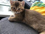 reinrassige BKH Kitten noch 2frei
