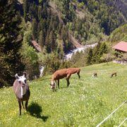 Lamawolle für den Garten abzugeben